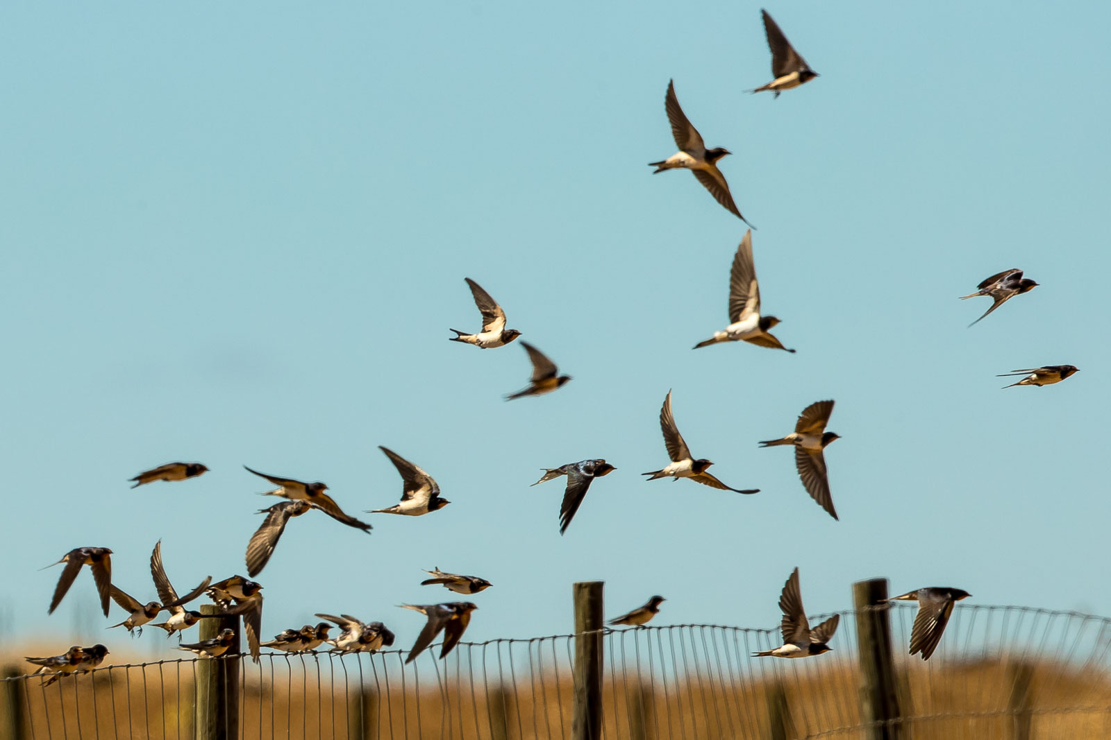 Barn Swallows-9948.jpg