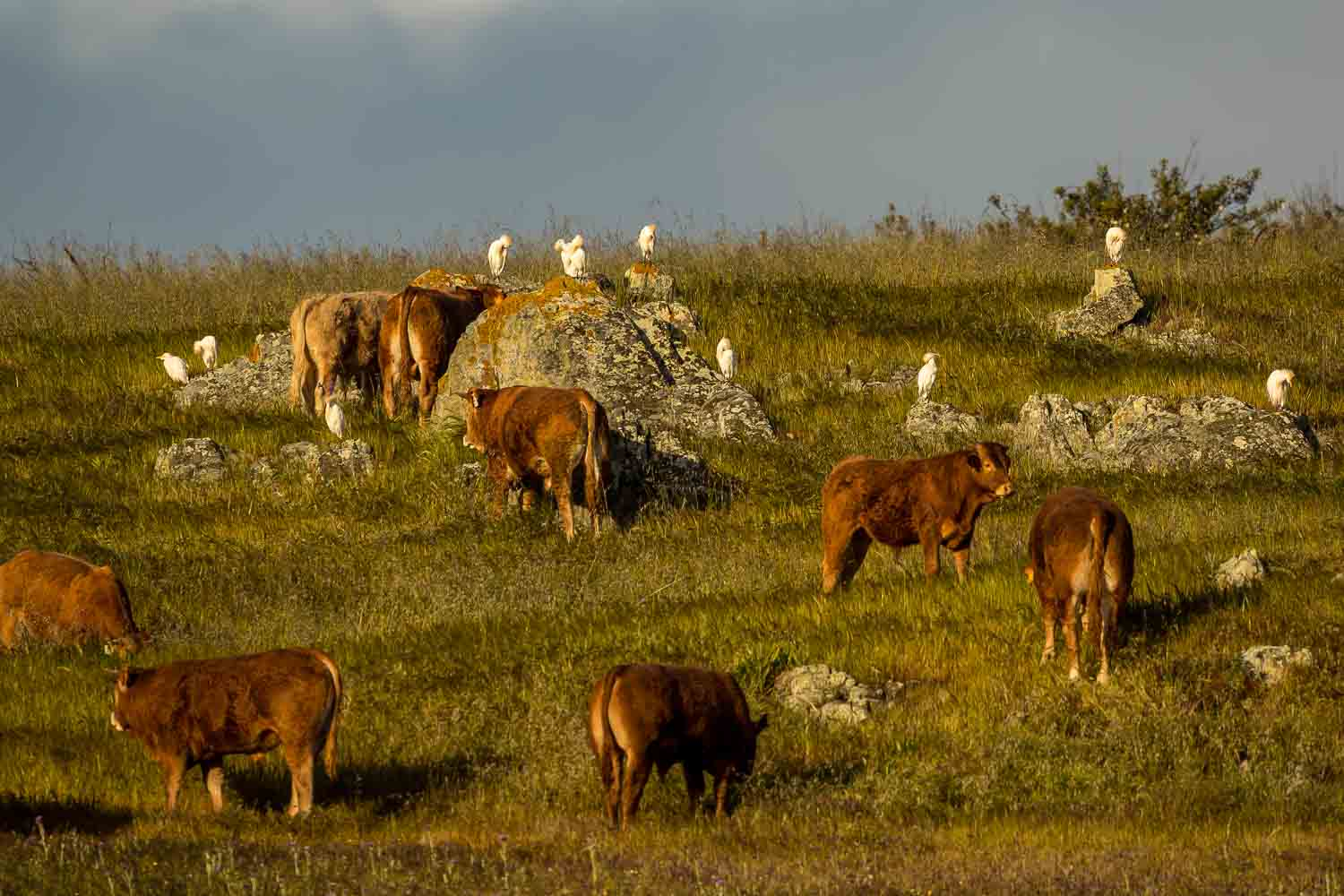 Cattle and Cattle Egrets 4292