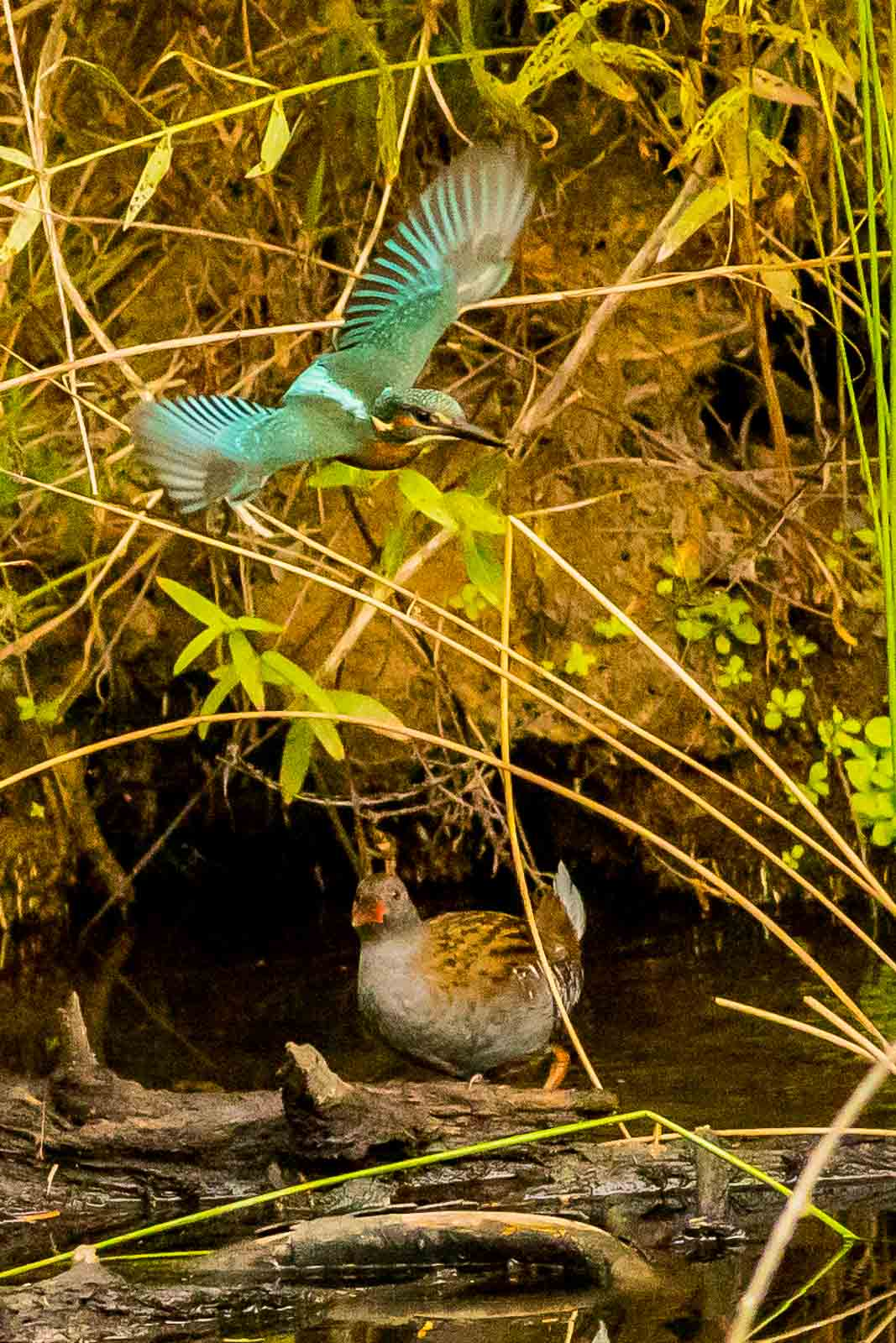 Common Kingfisher with Water Rail-7881.jpg