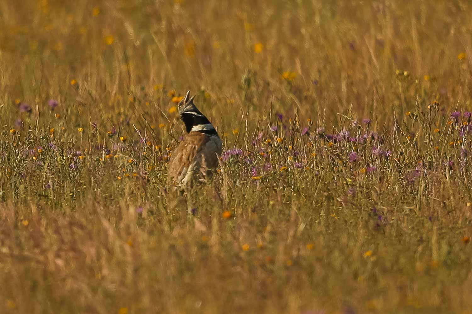 Little Bustard 2931