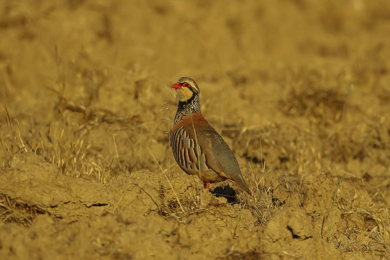Red Legged Partridge 2 2