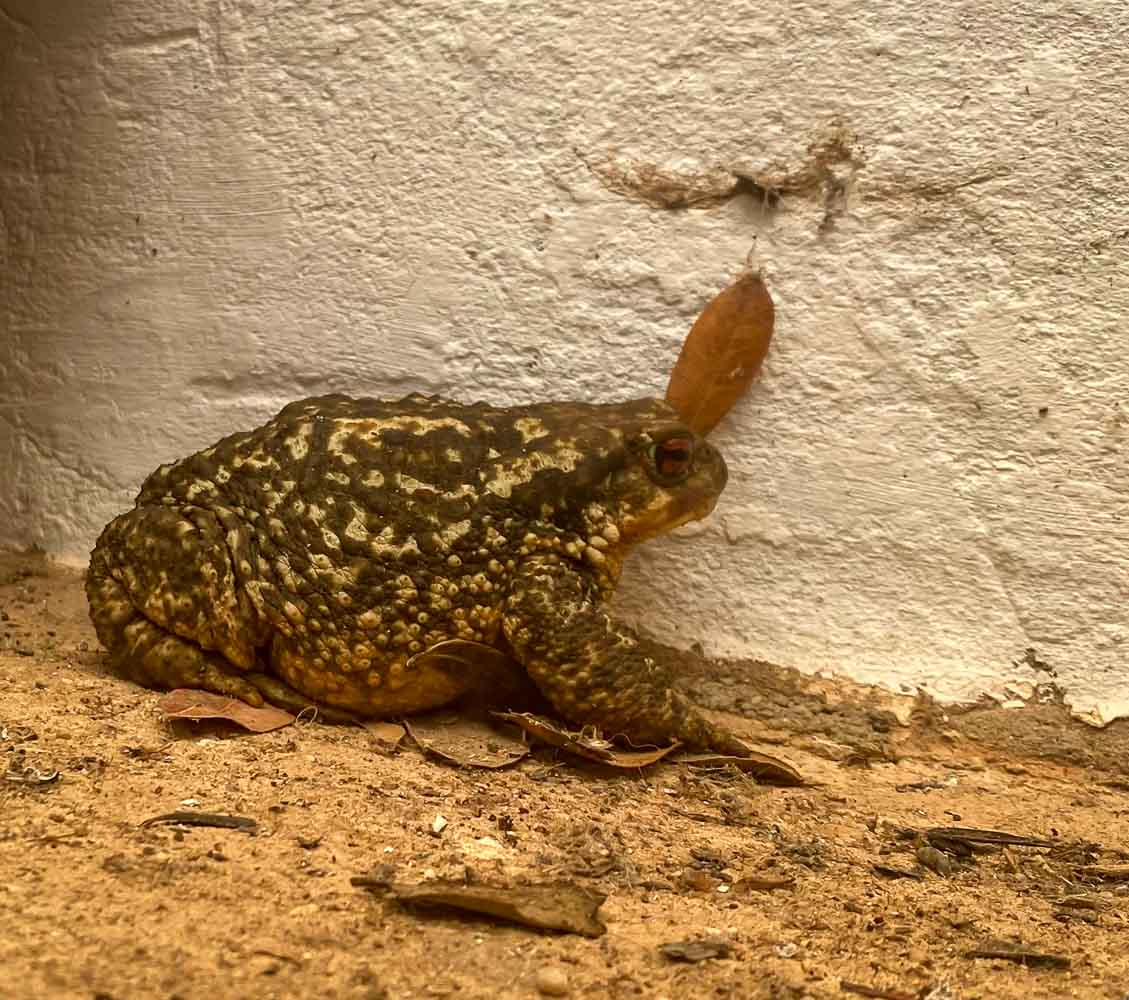 Spiny Toad